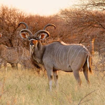 Kudu 009