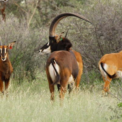 Lunga Tag 22 – sold to Uzzi'a Game Breeders