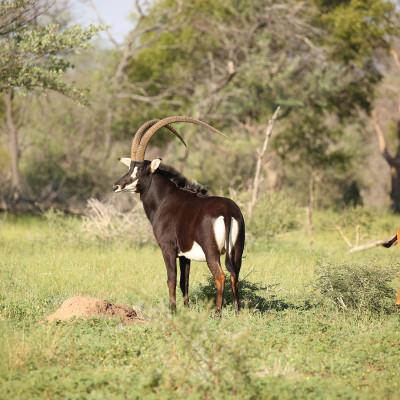 Busanga - Western Zambian